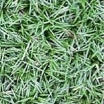Dwarf Mondo Grass closeup