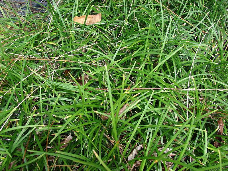 Mondo Grass Groundcover For The Yard And Garden
