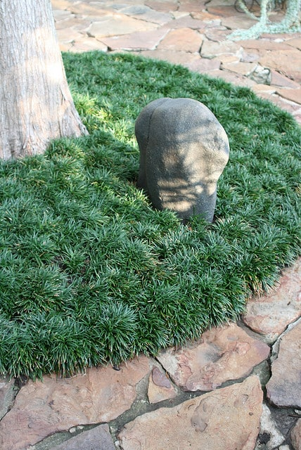 Mondo Grass Groundcover For The Yard And Garden